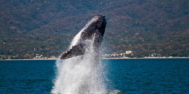 Whale watching season in puerto vallarta